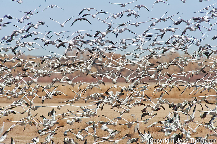 Snow Geese in mass flight at Bosque del Apache NWR