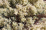 Desert plant with tiny white flowers.