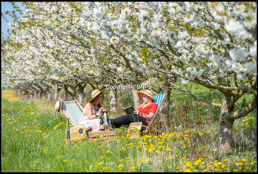 BNPS.co.uk (01202 558833)<br /> Pic: PhilYeomans/BNPS<br /> <br /> Easter heatwave boost to Britain's cherry growers...<br /> <br /> Cherry juice makers Laurie Griffin & Hayley Davis can afford to sit back and relax this Easter as the glorious weather has provided a stunning crop of blossom that should ensure a bumber harvest come July.<br /> <br /> The huge orchard near Milborne St Andrew in Dorset is one of the only outdoor cherry farms in the UK, and relies on the vagaries of the British climate each year to produce a good crop.<br /> <br /> Cherry juice is increasing in popularity because of its antioxidant and health giving properties.
