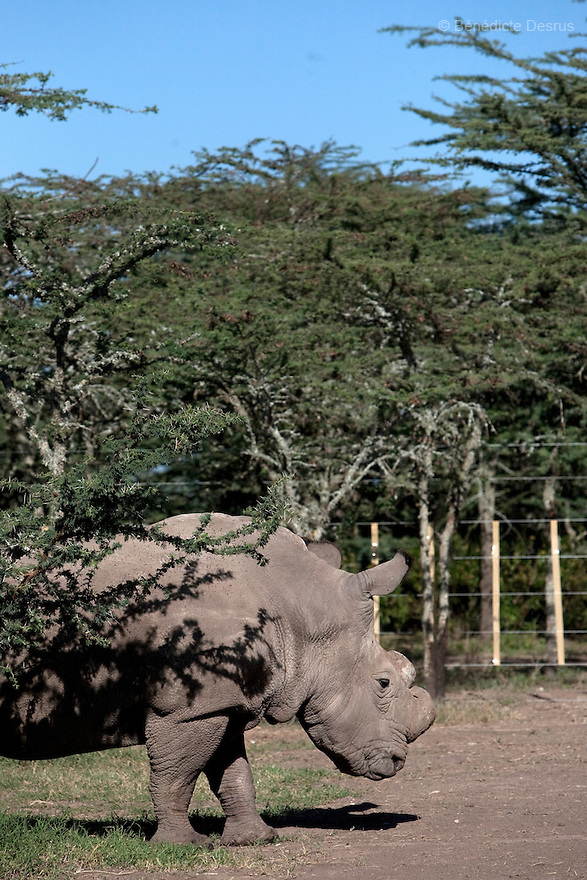 A Northern White rhino at Ol Pejeta Conservancy, Laikipia, Kenya on Janyary 17, 2010. On December 20, 2009, four of the world's last eight known surviving northern white rhinos were relocated from captivity back to the wild in a last bid to save them from extinction. The four rhinos, two males and two females, named Sudan, Suni, Fatu and Najin - were transferred by air from Dvur Králové Zoo in the Czech Republic to the Ol Pejeta Conservancy in Laikipia, Kenya. It is thought that the climatic, dietary and security conditions that the rhinos will enjoy at Ol Pejeta will provide them with higher chances of starting a population in what is seen as the very last lifeline for the species. Photo credit: Benedicte Desrus