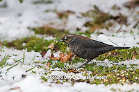 01607-00205 Rusty Blackbird (Euphagus carolinus) feeding in winter Marion Co. IL