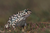 Green Toad, Bufo viridis, adult,National Park Lake Neusiedl, Burgenland, Austria, April 2007