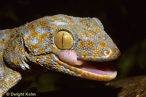 GK12-009z  Tokay Gecko - cleaning eye with tongue -  Gekko gecko