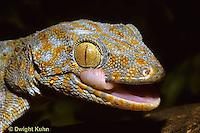 GK12-009z  Tokay Gecko - cleaning eye with tongue -  Gekko gecko