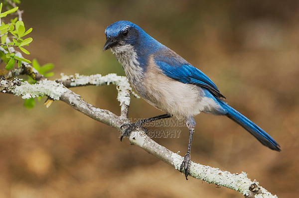 Western Scrub-Jay,  Aphelocoma californica, adult perched, Uvalde County, Hill Country, Texas, USA, April 2006