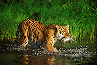 Bengal Tiger (Panthera tigris).  Tigers are one of the few cats to enjoy being in water.