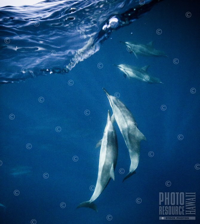 A pod of spinner dolphins swim off the Kona coast of the Big Island.