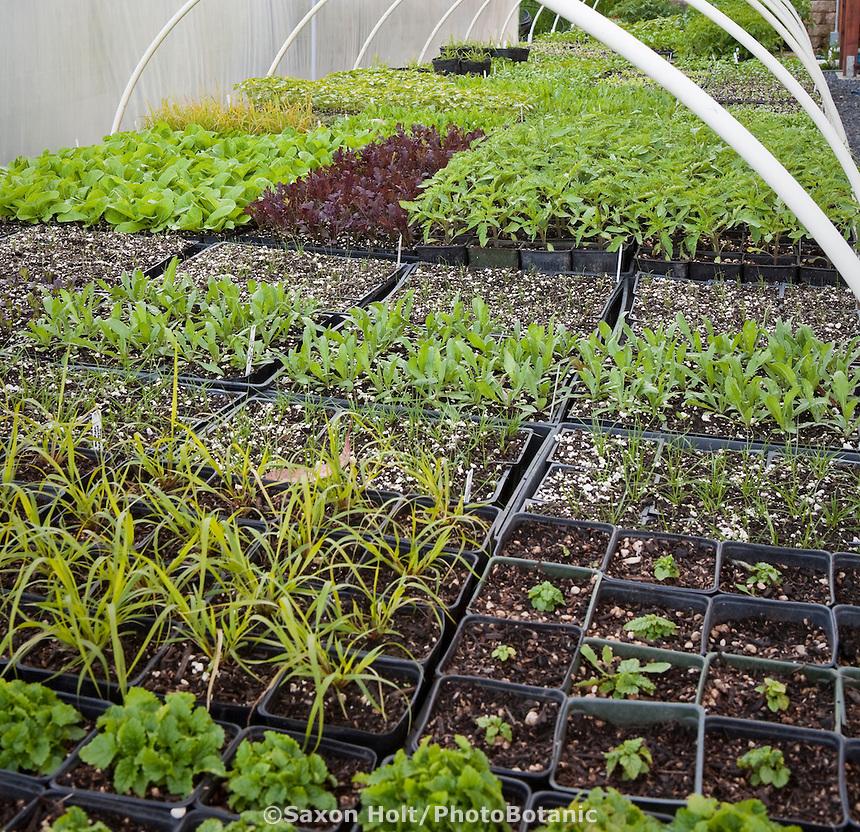 Organic vegetable seedlings, Singing Frogs Farm