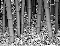 Bamboo trunks. Northwest Garden Nursery, Eugene, Oregon
