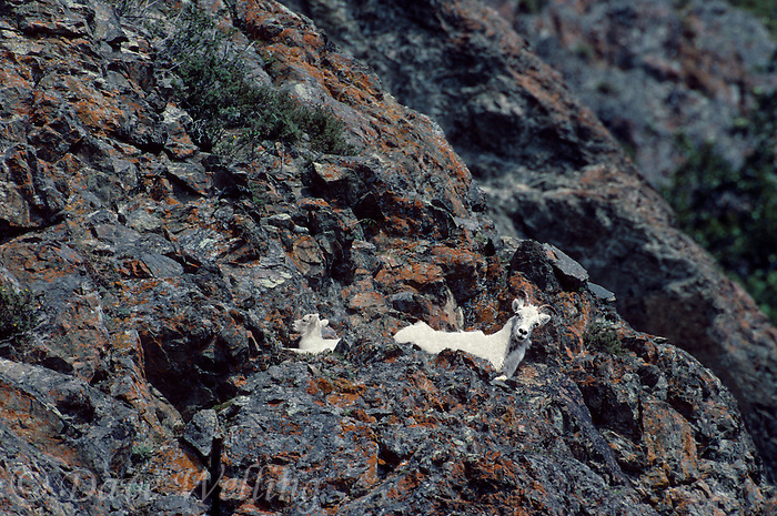 678550330 a wild dall sheep mother or ewe and her young offspring or kid ovis dalli perch on a rocky cliff face along turnigan arm near anchorage alaska