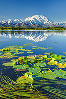 Lily pads grow in a tundra pond with Mt Denali reflecting in the water, Denali National Park, Interior, Alaska