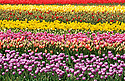 Rows and rows of purple, pink, yellow and red Tulips at Tulip Town during the Skagit county annual Tulip festival in Mount Vernon, WA.