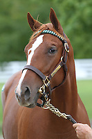 Hip #97 Tapit - Hello Liberty filly at the  Keeneland September Yearling Sale.  September 9, 2012.