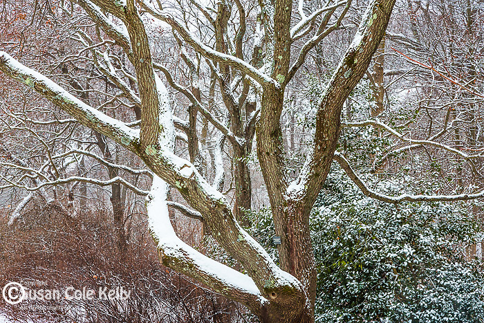 Snowy branches at the Arnold Arboretum in the Jamaica Plain neighborhood, Boston, Massachusetts, USA