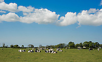 Holstein cows in a field, Crossmoor, Lancashire.