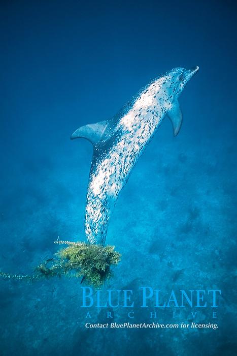 Atlantic Spotted Dolphin, Stenella frontalis, underwater with sargasso on flukes on the Little Bahama Banks, Grand Bahama Island, Bahamas, Caribbean, Atlantic