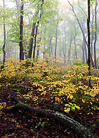 Autumn color is hinted at in a foggy forest at Door Bluff County Park in Door County, Wisconsin