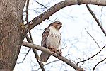 A hawk with a mouse for breakfast at Blithewold Mansion, Bristol, RI, USA