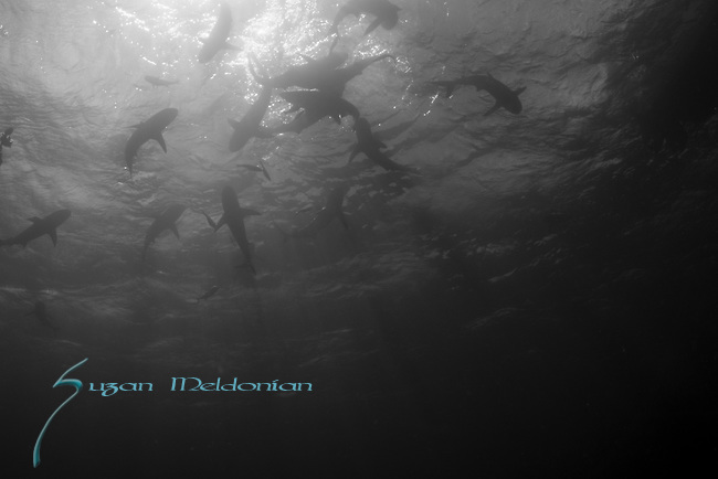 Silky sharks at the surface. Sunlit sharks, Carcharhinus falciformis, Gardens of the Queen, Cuba