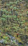 Senecons geants dans la vallee de Barranco.