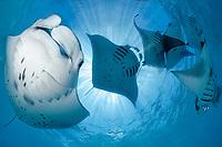reef manta ray, Manta alfredi, feeding plankton at Hanifaru Bay, Baa Atoll, Maldives, Indian Ocean