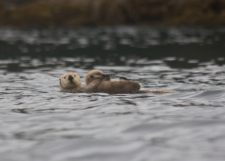 Alaska, Sea otters, Prince William Sound, mother with pup, Enhydra lutris,