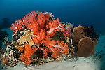 Lush coral reef with soft corals and gorgonian corals.