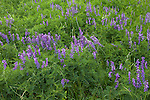Bird Vetch (Vicia cracca) blooming in summer near Petosky in northwest Michigan, MI, USA