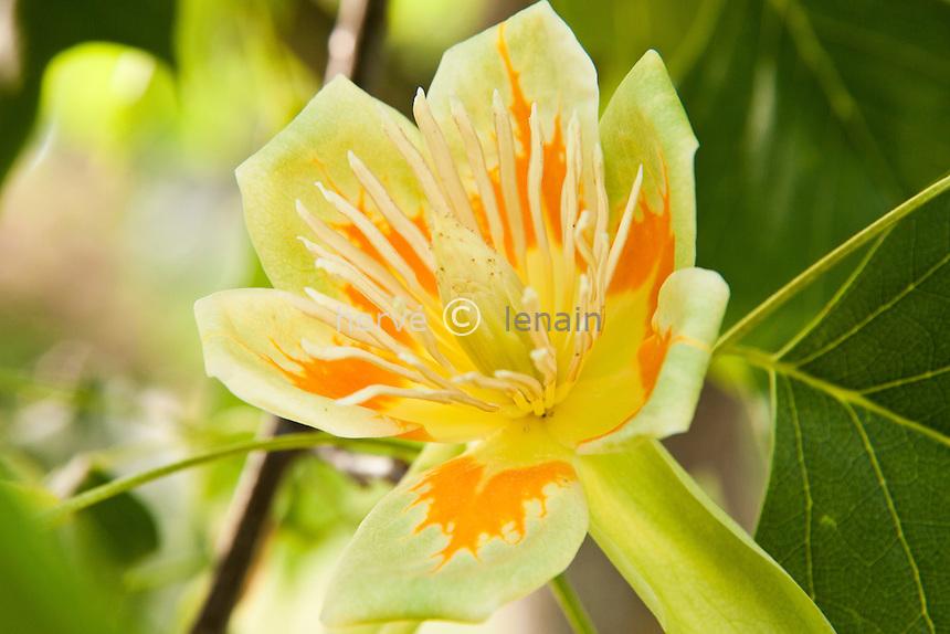 Fleur de tulipier de Virgine, Liriodendron tulipifera // flower of tulip tree or tuliptree, , Liriodendron tulipifera