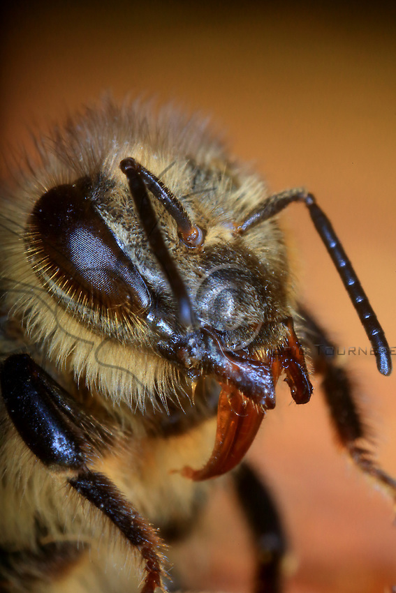 Close-up of the head of a bee.///Gros plan de la tête d'une abeille.