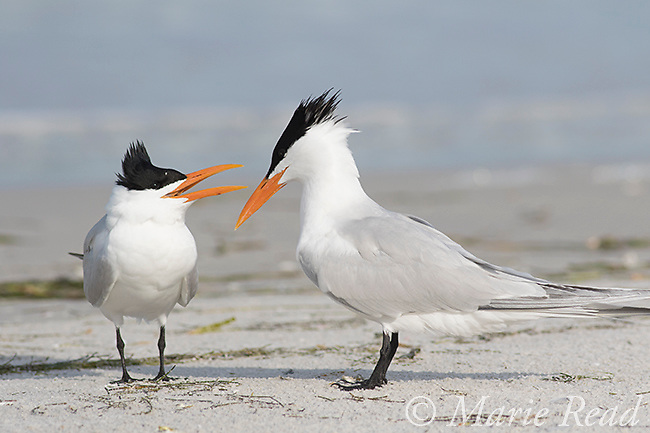 Royal Terns (Sterna maxima) female begging from male during courtship, Fort De Soto Park, Florida, USA