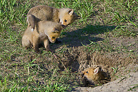Trio of Red Fox Kits playing hide-and-seek around their den