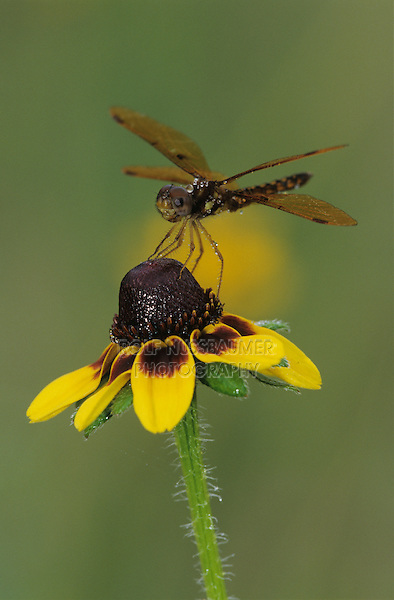 Eastern Amberwing, Perithemis tenera, male on Clasping-leaved Coneflower (Dracopis amplexicaulis) , Lake Corpus Christi, Texas, USA
