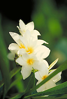 white frangipani. Saint Thomas Virgin Islands, caribbean.
