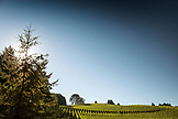 USA, Oregon, Willamette Valley, landscape of rows of vines near Big Table Farms in Gaston