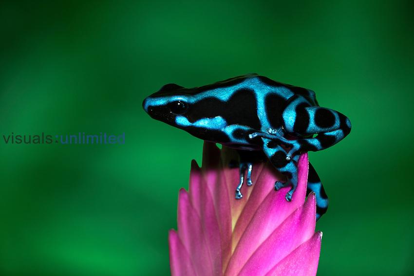 Blue and Black Dart Frog (Dendrobates auratus).