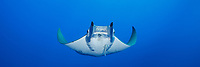 WQ1687-Dp. Sicklefin Devil Ray (Mobula tarapacana), also called Chilean devil ray. This medium-sized member of family Myliobatidae grows to 10 feet across and is a cousin to the larger Manta Rays. It feeds on small fishes and planktonic crustaceans such as krill. Azores, Portugal, Atlantic Ocean.<br /> Photo Copyright © Brandon Cole. All rights reserved worldwide.  www.brandoncole.com