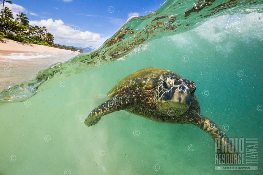 Over and under image of a green sea turtle  (or honu) diving under a wave at a beach on O'ahu.