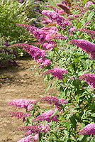 Butterfly Bush Buddleja davidii 'Pink Delight' in full bloom with many flower spikes