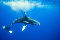 Humpback whale, Megaptera novaeangliae, Maui, Hawaii.