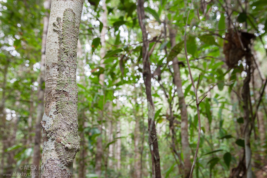 Leaf-tailed gecko {Uroplatus sikorae} camouflaged on tree trunk in rainforest, Andasibe-Mantadia National Park, Eastern Madagascar.