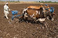 INDIA Madhya Pradesh Khargone , cotton farmer with ox and sowing tool at field / INDIEN Khargone , Bauer mit Ochsengespann und Saatgeraet bei Aussaat von Baumwolle