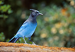 FB-S175   Steller's Jay.  Back small photo for 4x6 postcard