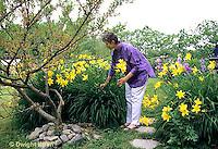 HS47-003x  English Cottage Garden - yellow day lilies, bearded iris - Hemerocallis spp, Iris spp.