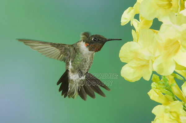 Ruby-throated Hummingbird, Archilochus colubris, male in flight feeding on Yellow Trumpet Flower(Tecoma stans), New Braunfels, Texas, USA, September 2005