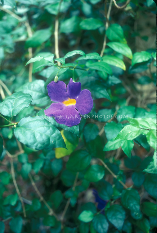 Thunbergia erecta, King's Mantle vine in flower