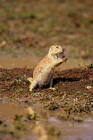Black-tailed Prairie Dog (Cynomys ludovicianus) cleans paws after working near its burrow after summer thunderstorm flooded area.  See photos # Mi638, 698, 699, 701, 708, 710, 711, 715. 716b--all part of this series.