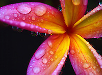 A close-up of water droplets on the petals of a pink and yellow plumeria flower, Big Island.