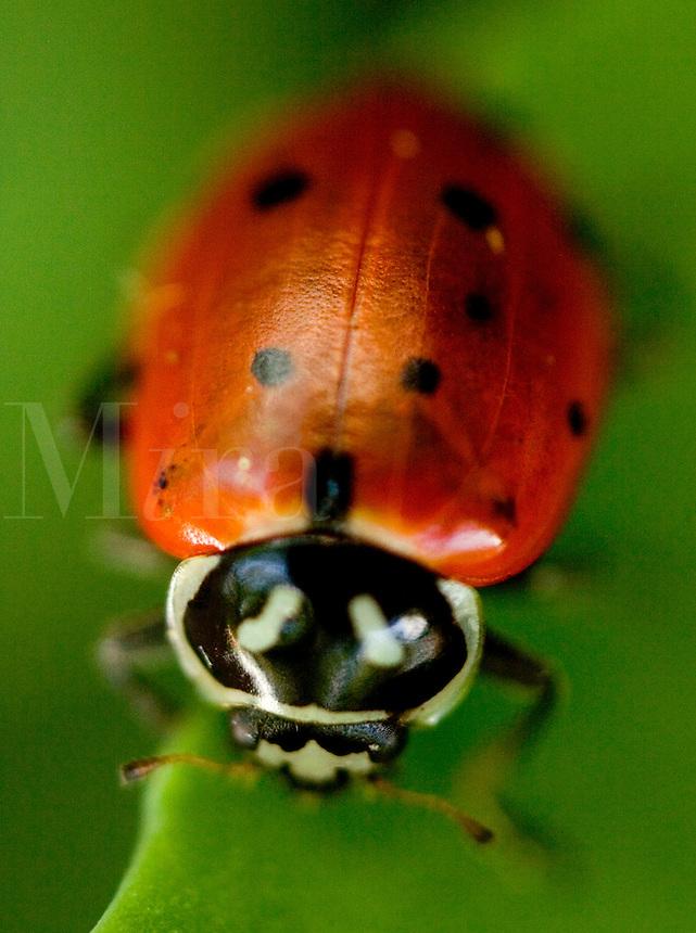 Ladybug, Hippodamia