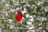 01530-20807 Northern Cardinal (Cardinalis cardinalis) male in American Holly tree (Ilex opaca) in winter, Marion Co., IL